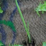 orto in sacco aglio2