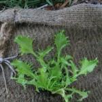 orto in sacco insalata